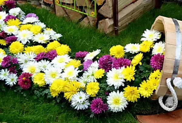 Правила ухода за хризантемами осенью и подготовка к зиме