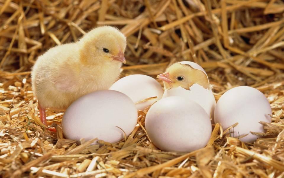 Курица садится на яйца, как отучить ее высиживать и зачем это надо