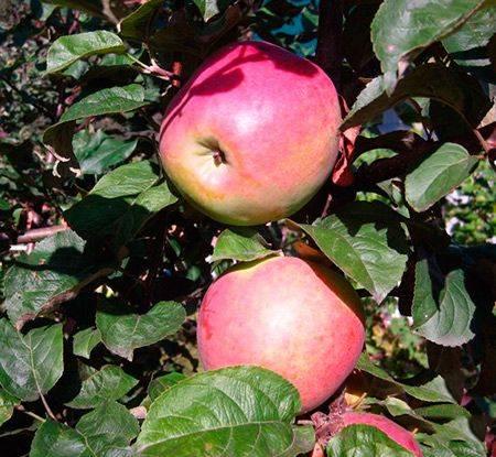 Яблоня с высоким уровнем адаптации и красивыми плодами — сорт подарок графскому
