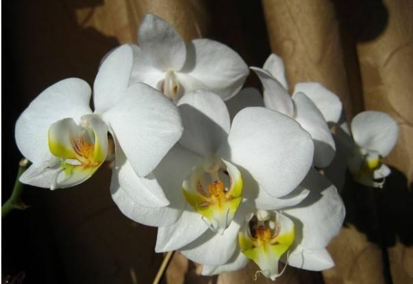 Белая орхидея (32 фото): «белая цапля» и виды фаленопсиса, названия сортов с фиолетовыми пятнами, уход в домашних условиях, отзывы