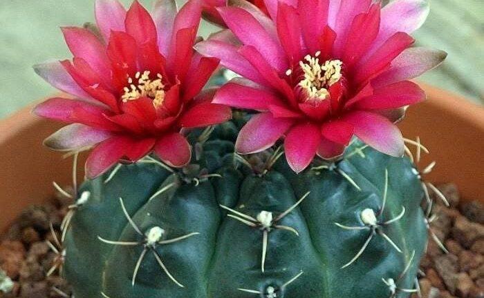 Гимнокалициум - уход в домашних условиях за кактусом, нюансы ухода за сортами с фото