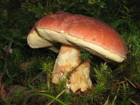 Как правильно заморозить белые грибы на зиму и использовать после замораживания