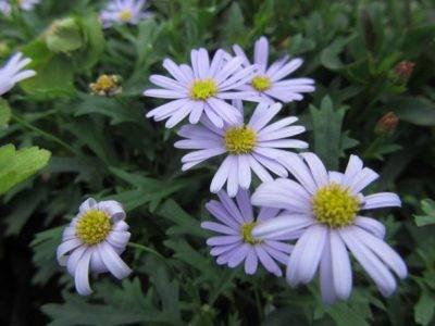 Цветы сентябринки – размножение, посадка и уход