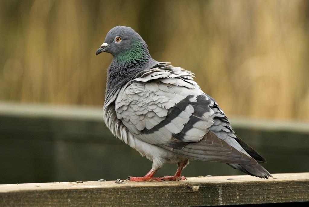 Ласота для голубей как разводить