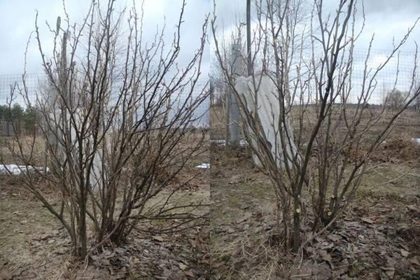 Уход за смородиной после сбора и осенью: подготовка к зиме и под обильный урожай в следующем сезоне
