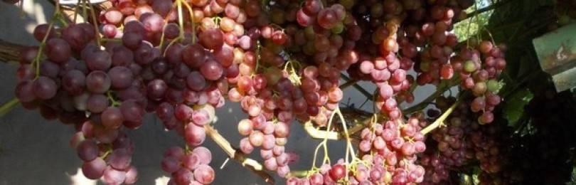 Виноград русский ранний: описание достоинств и недостатков сорта