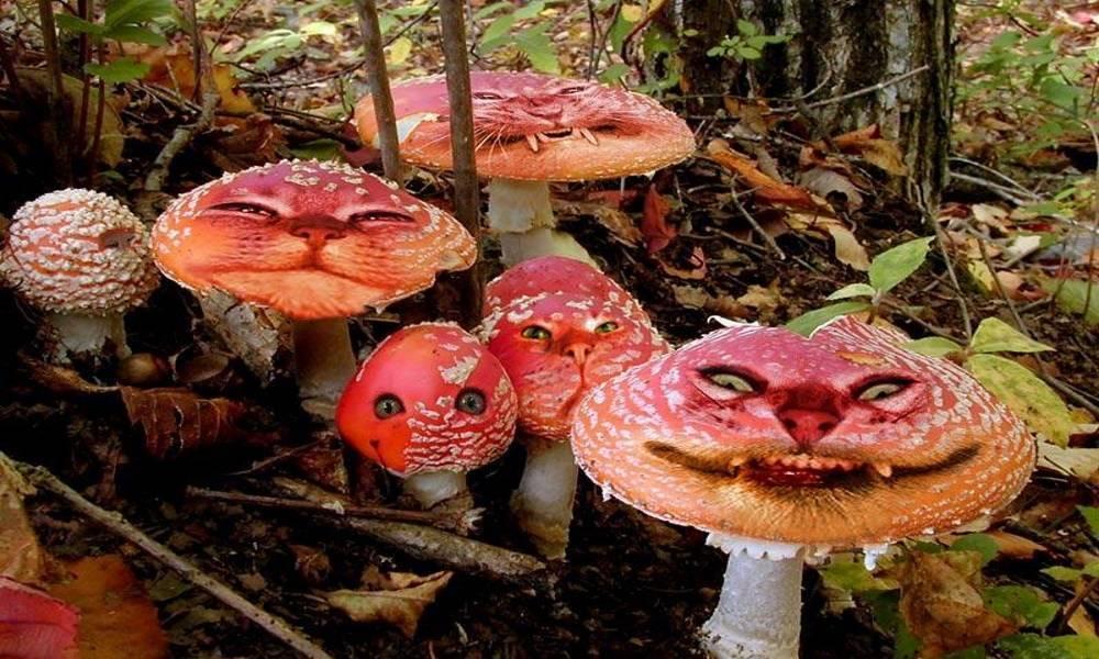 Волоконница острая – опасный для здоровья гриб