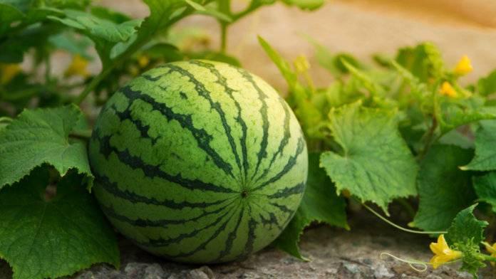 Все о выращивании арбузов в теплице и открытом грунте на урале, забайкалье