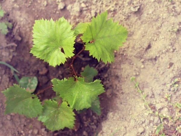 Виноград краса никополя: описание сорта и характеристики, посадка и уход