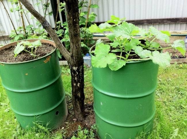 Выращивание огурцов в бочке пошагово с фото и видео