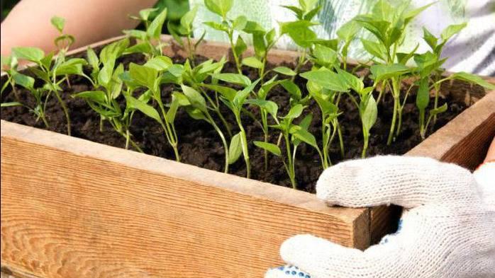 Чем подкормить рассаду перца, чтобы были толстенькие и крепкие