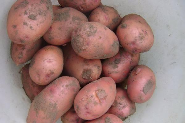 Картофель алена: описание сорта, фото, отзывы