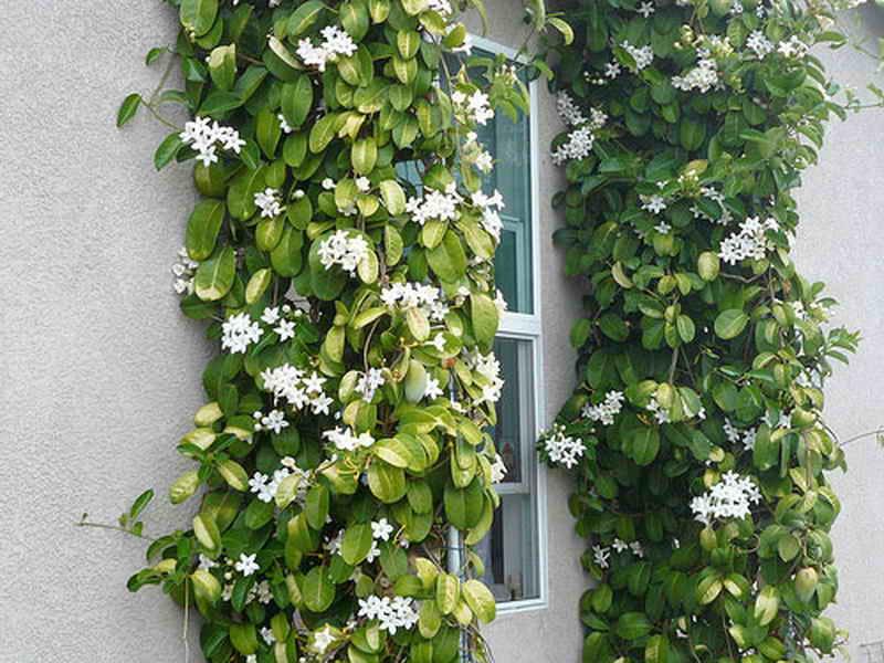 Стефанотис обильноцветущий, подробные рекомендации по уходу за цветком в домашних условиях