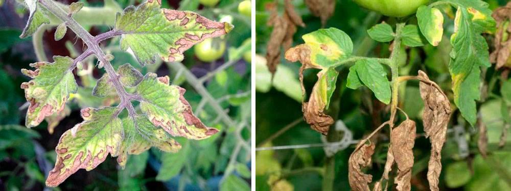 Что делать, если у помидоров листья сохнут и желтеют: причины, способы лечения и проверенные препараты, профилактика появления