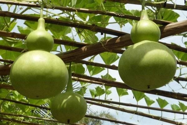 Лагенария: описание, виды, выращивание, посадка и уход