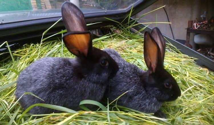 Кролики полтавское серебро: описание, характеристика