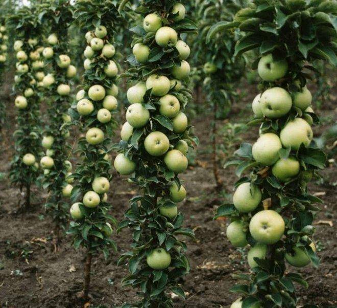 Сорта яблони для северо-запада: описание и фото лучших сортов