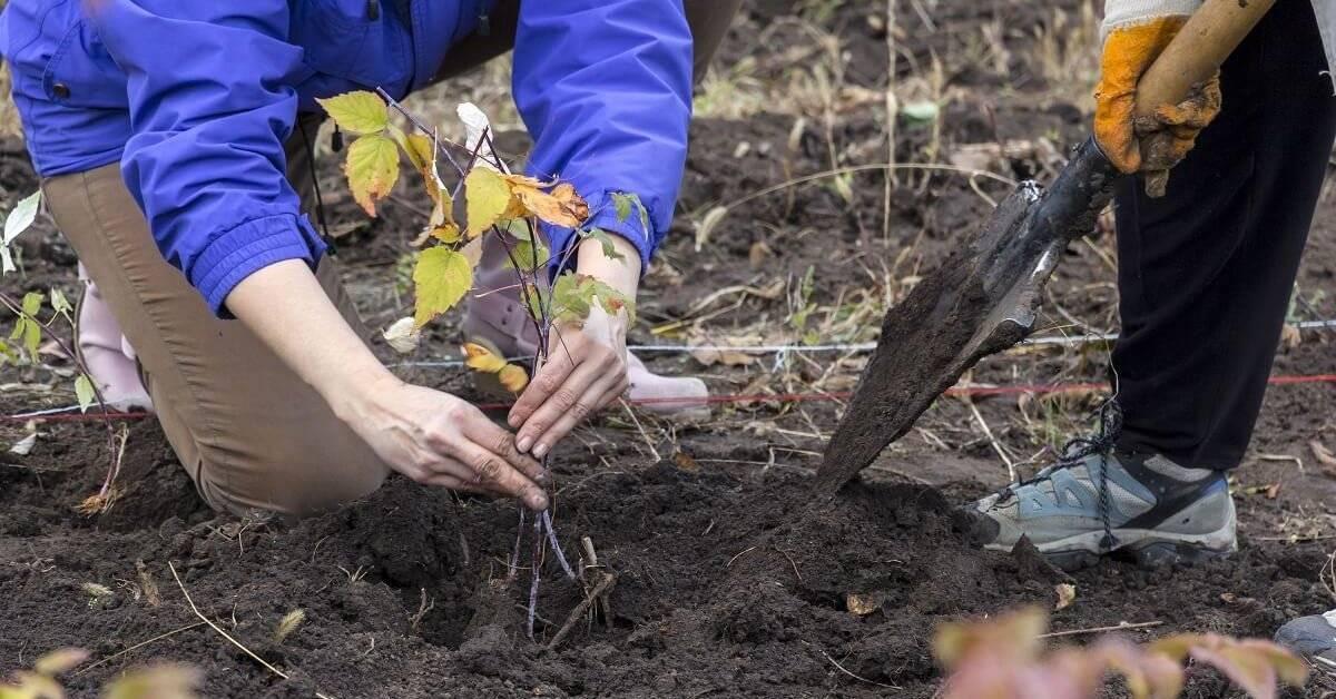 Посадка малины осенью: когда и как посадить, чтобы принялась