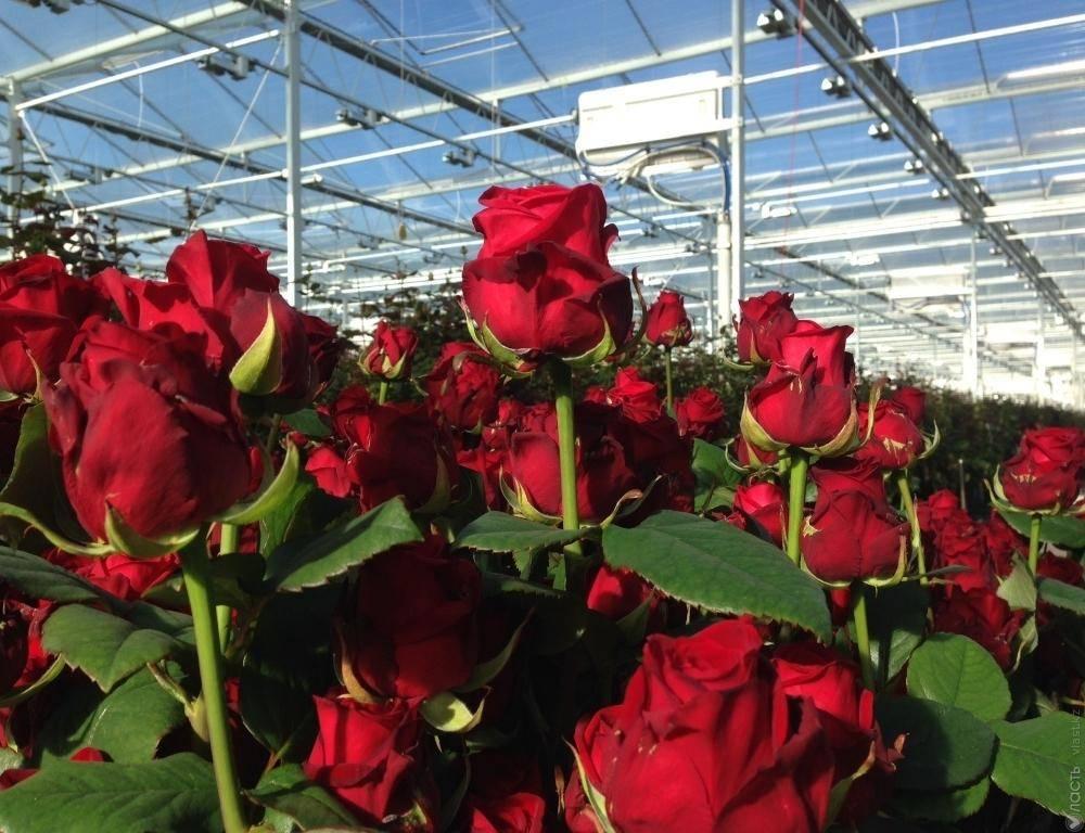Как вырастить розу из букета в домашних условиях: пошаговая инструкция - sadovnikam.ru