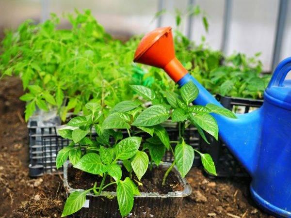 С чем можно сажать перец и помидоры в теплице?