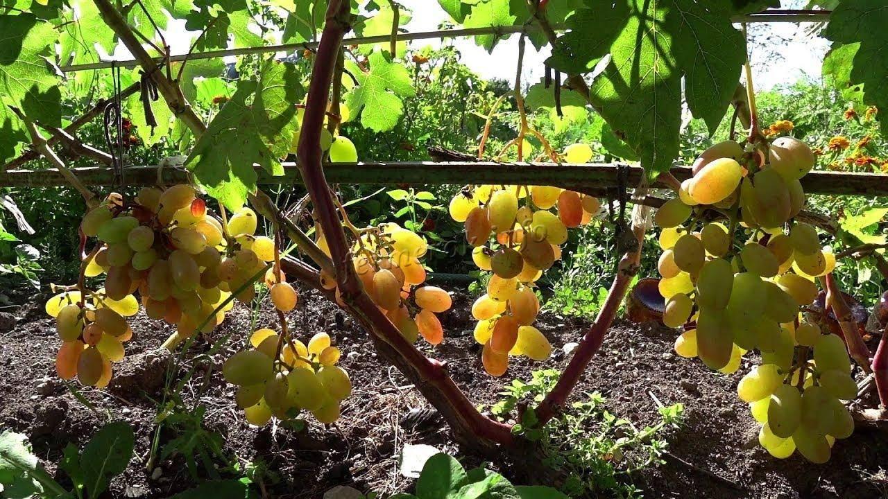 Описание и характеристика винограда сорта виктор, посадка и уход