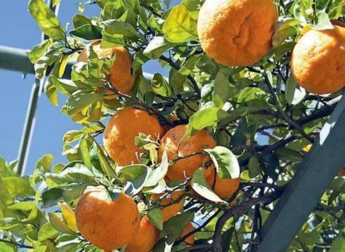 Апельсин вашингтон навел который не привередливый и плодоносит дома