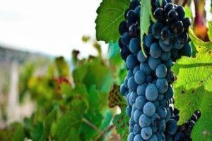 Описание и фото синих и черных сортов винограда