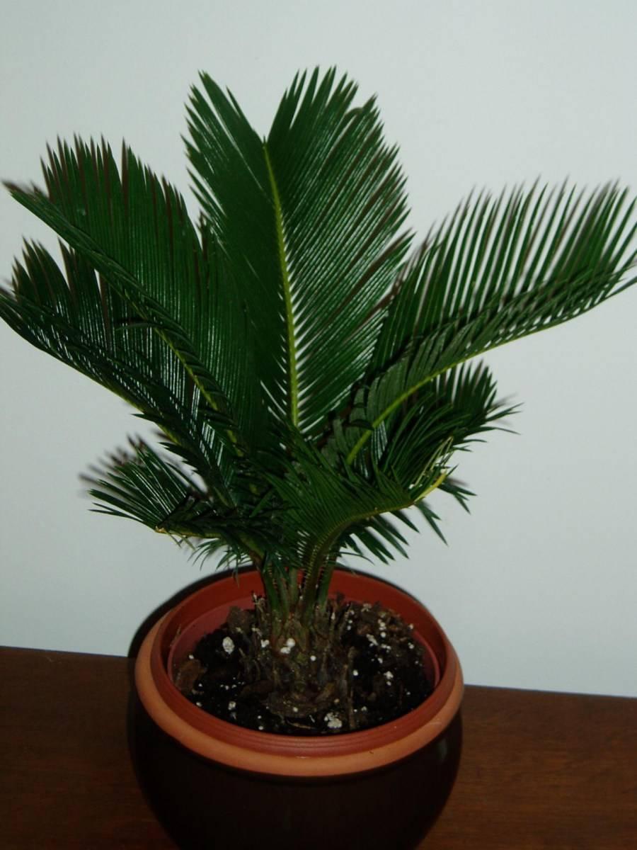 Финиковая пальма: уход в домашних условиях, фото