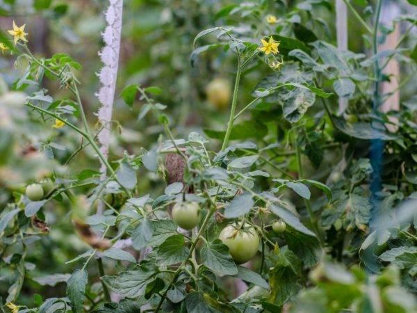 Какие удобрения и когда использовать в подкормке томатов в теплице: внекорневые и корневые