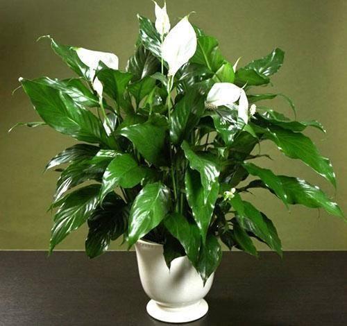 Чем подкормить женское счастье (спатифиллум) для цветения в домашних условиях