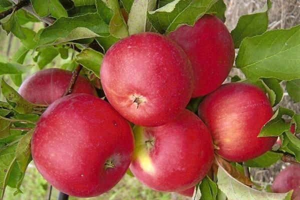 Сорта яблонь для ленинградской области: лучшие ранние сладкие сорта и отзывы о них