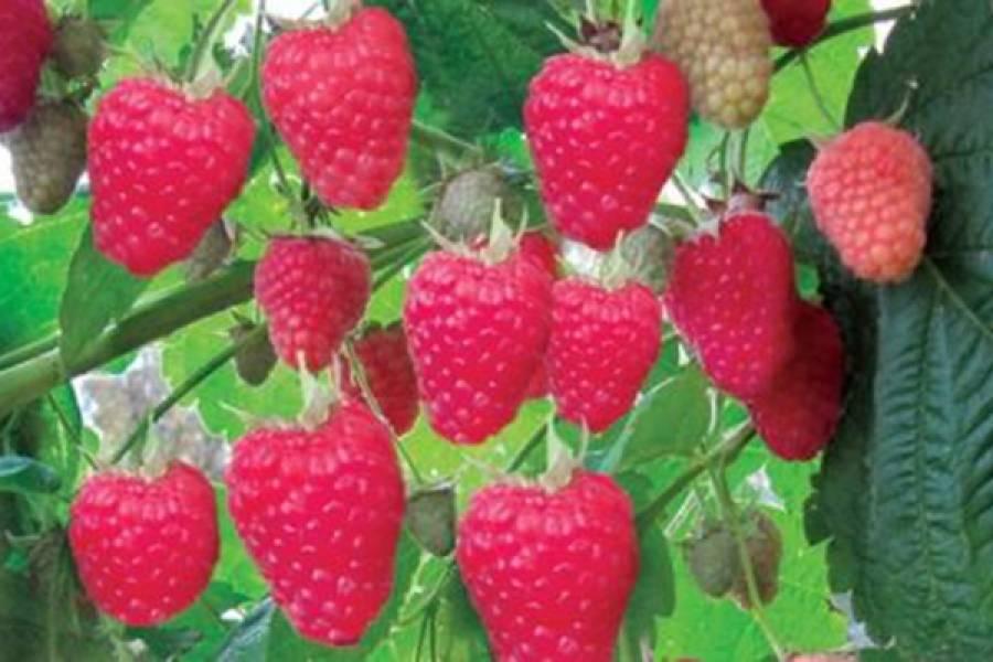 Сорт малины киржач - мир винограда - сайт для виноградарей и виноделов