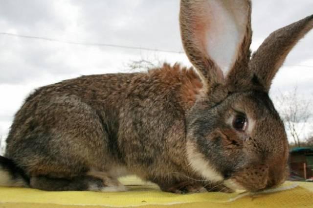 Кролики ризен
