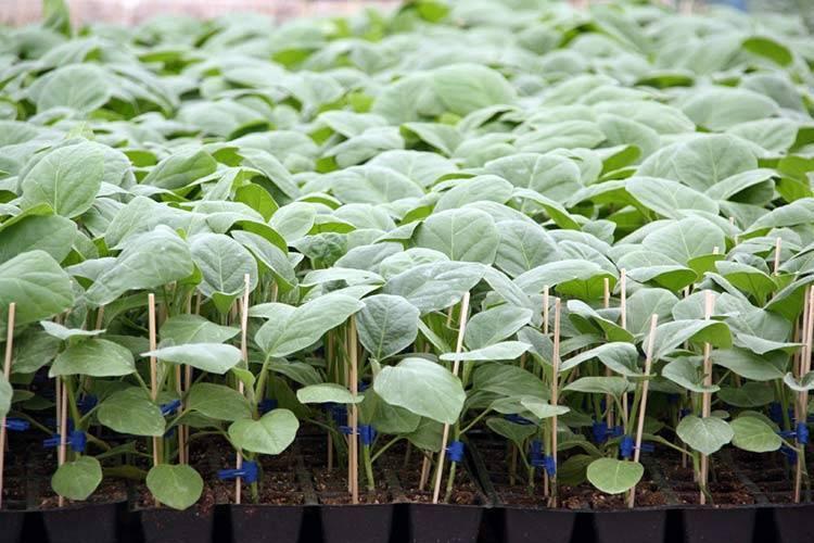 Выращивание рассады баклажанов в домашних условиях. когда сажать? фото — ботаничка.ru