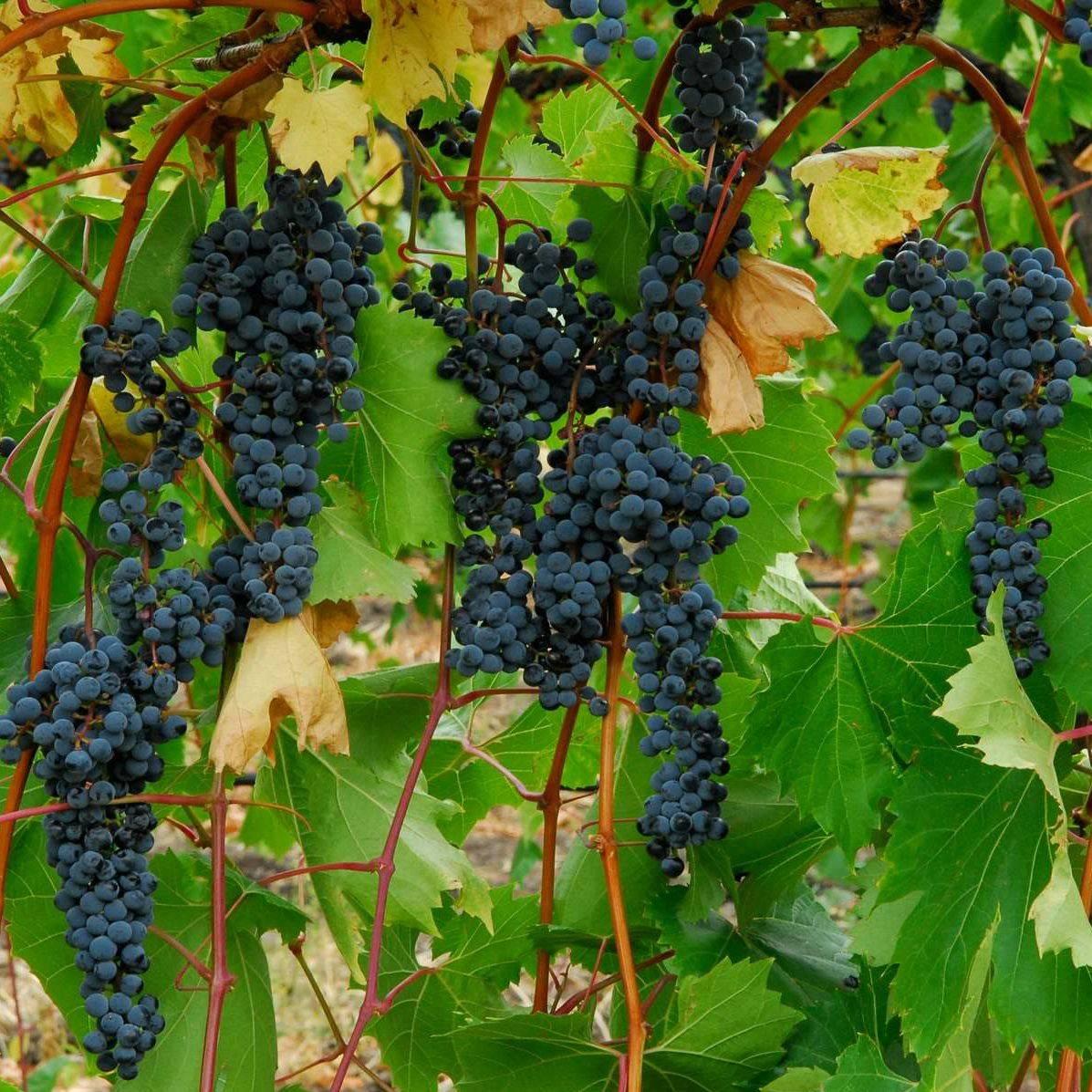 Невероятно устойчивый виноград левокумский