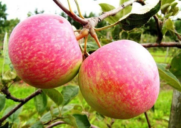 Описание и характеристики сорта яблони спартан, тонкости выращивания