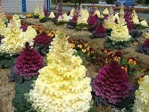 Декоративная капуста: описание сортов, посадка семян, выращивание и уход, фото