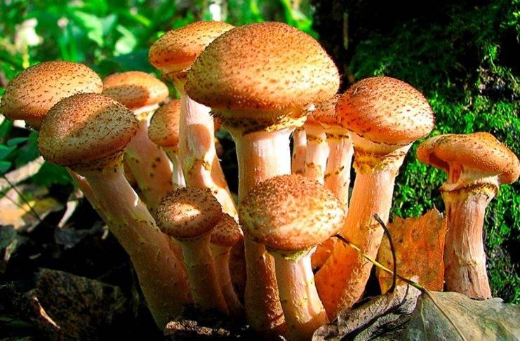 Маслята – съедобные грибы: фото, описание