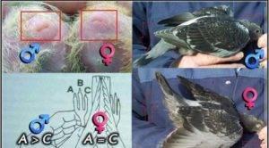 Определение пола голубя по внешним признакам: чем отличаются самец от самки