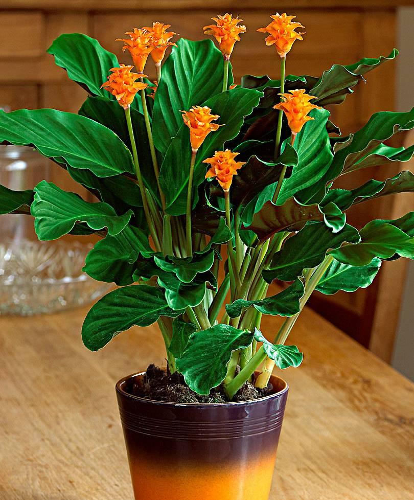 Калатея — молитвенный цветок. уход в домашних условиях. виды, фото — ботаничка.ru