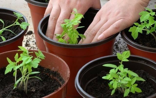Особенности обработки помидоров от болезней: эффективные препараты и их применение