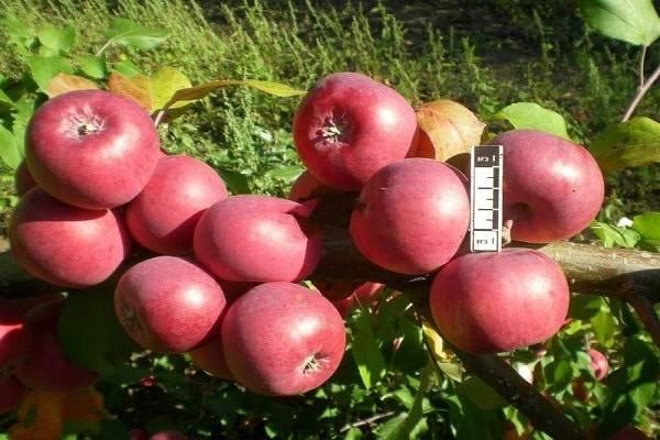 Описание сорта яблони саянское: фото яблок, важные характеристики, урожайность с дерева