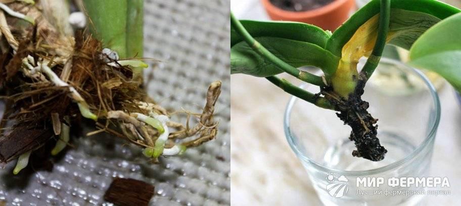 Успешная реанимация фаленопсиса без корней