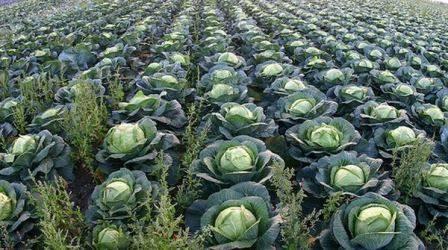 Цветная капуста: выращивание и уход в открытом грунте