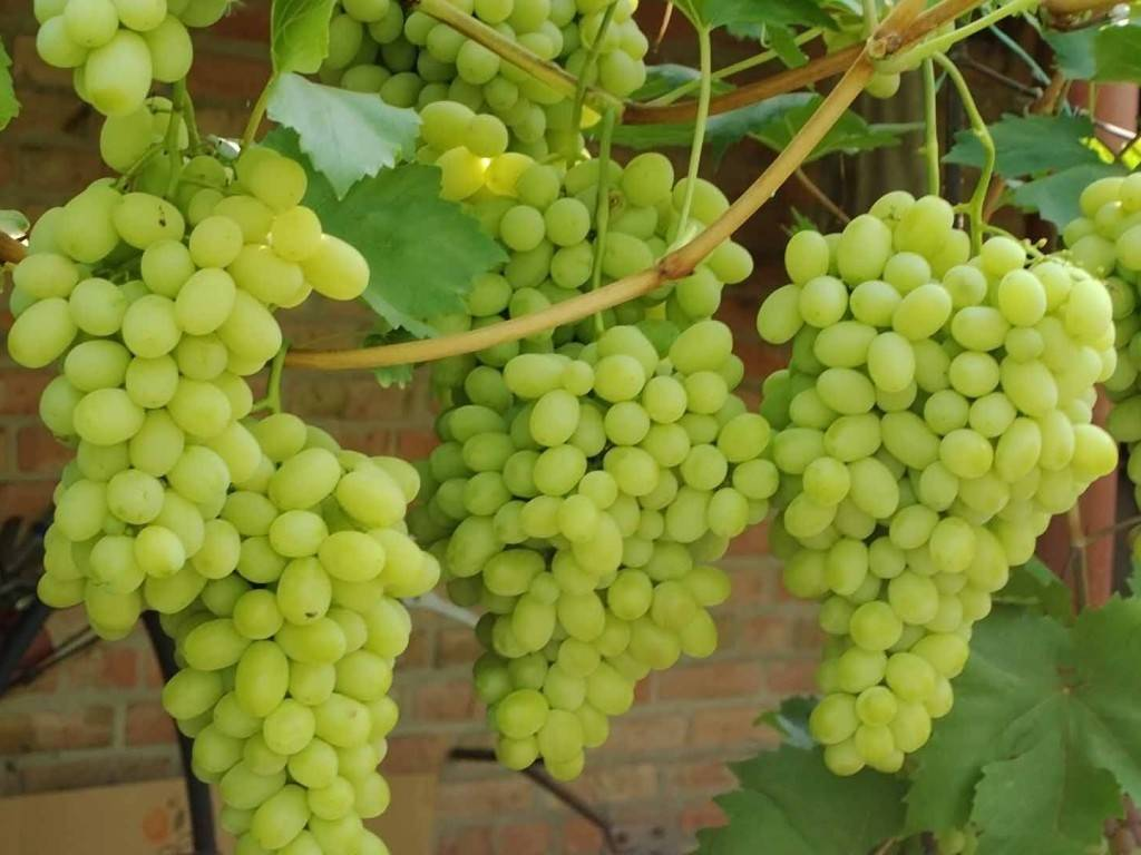 Описание и выращивание винограда сорта фурор, плюсы и минусы и характеристика