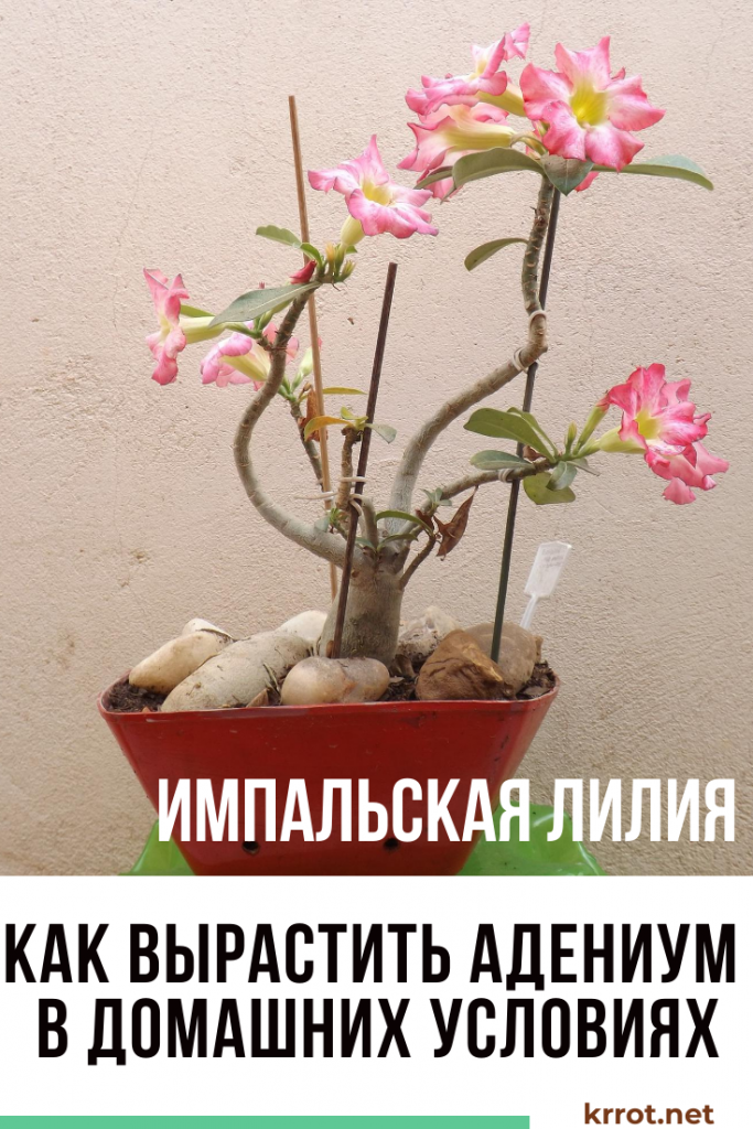 Адениум обесум — описание и уход дома