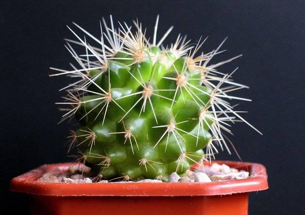 Домашние кактусы (95 фото) - названия видов, уход, выращивание, как поливать