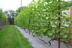 Посадка и уход за виноградом в средней полосе россии