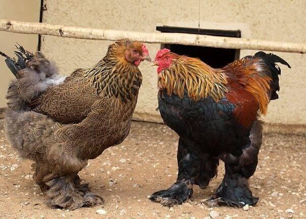 Брама куропатчатая: фото и описание породы кур, содержание и выращивание цыплят и петухов, особенности и характеристики птиц selo.guru — интернет портал о сельском хозяйстве