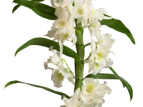 Орхидея дендробиум нобиле: описание и особенности выращивания
